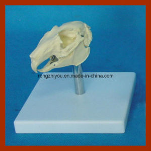 Anatomical Plastic Rabbit Skull Model Aninal Organ Model pictures & photos