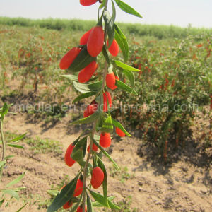 Medlar Lbp Organic Food Red Dried Goji Berry pictures & photos