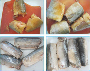 Export 155g Canned Mackerel in Oil pictures & photos