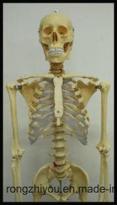 170cm Plastic Human Skeleton Model (Transparent Thoracic) Biological Model Supplier pictures & photos