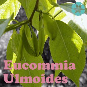 Eucommia Ulmoides Extract / Chlorogenic Acid pictures & photos