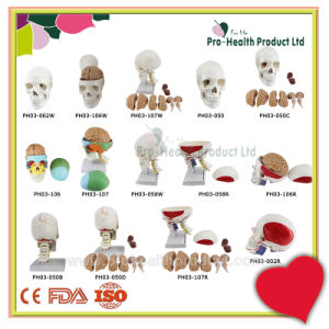 Classic 3 Part Skull Anatomy Model With Removable Brain Dissect Into 8 Parts Model pictures & photos