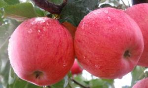 FUJI Apple - 6