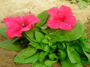 Petunia Seed