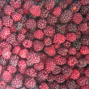 IQF Freezing Organic Blackberry Zl-020