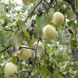 Fresh Chinese New Crop Ya Pear pictures & photos