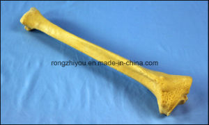 Bone Used for Teaching and Practice (Tibia) Sawbone Product pictures & photos