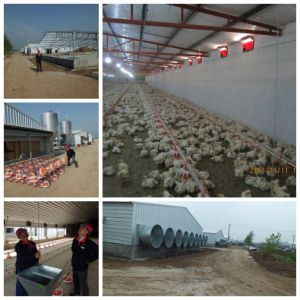 Poultry Application in Steel Strucutre Chicken Shed pictures & photos