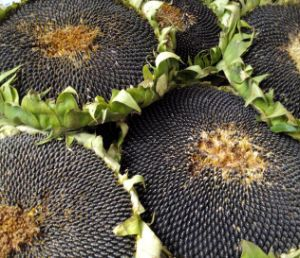 Best Raw Sunflower Seeds 5009 with Full of Particles pictures & photos
