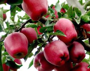 Huaniu Apple - 1