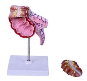 Human Caecum and Appendix Model pictures & photos