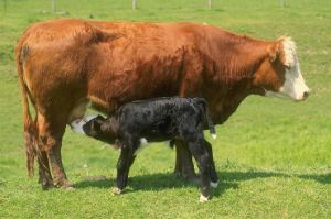 High Quality Milk Replacer for Cattle Feed pictures & photos