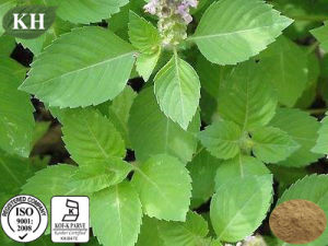 High Quality Holy Basil Extract 10: 1 pictures & photos