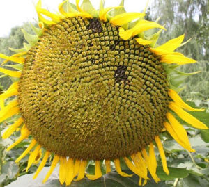 Chinese Hot Sale Food Sunflower Seeds 363 pictures & photos