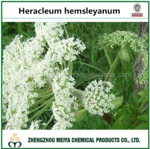 Medicinal Ingredient Powder Angelica Pubescentis / Heracleum Hemsleyanum Extract 5: 1, 10: 1 pictures & photos