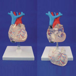 Human Adult Transparent Heart Medical Anatomy Model for Demonstration (R120108) pictures & photos