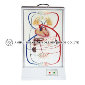 Cardiac Activity and Blood Circulation Electric Model pictures & photos