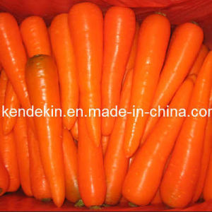 Fresh Carrot (316 or others)