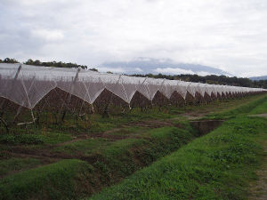 Hail Protection Net in Apple Tree Orchard pictures & photos