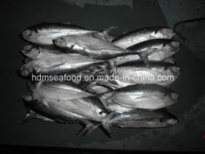 W/R Fresh Frozen Hardtail Scad Fish pictures & photos