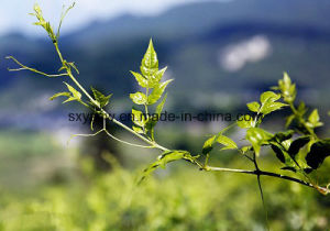 Natural Free Sample Dihydromyricetin Vine Tea Extract pictures & photos