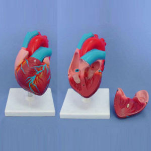 Medical Teaching Anatomic Human Heart Demonstration Model (R120103) pictures & photos