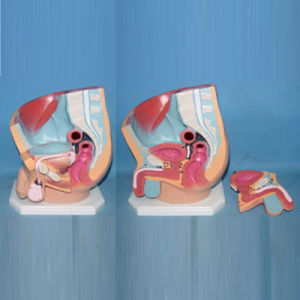 Medical Teaching Human Abdomen Pelvic Cavity Anatomic Model (R110210)
