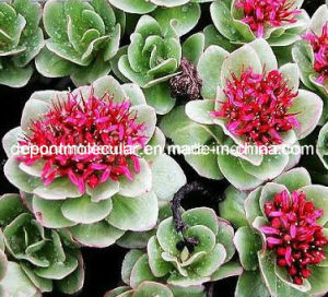 Rhodiola Rosea Extract, Rosavin, Rosavins; Rhodiola Crenulata Extract Salidroside pictures & photos