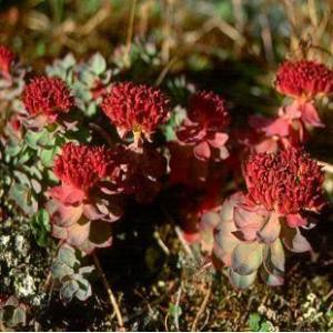 Water Soluble Rhodiola Rosea Extract pictures & photos