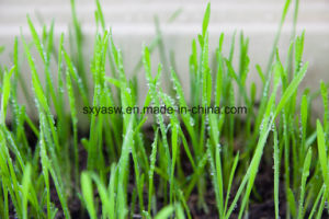 100% Natural Water Soluble Wheat Grass Juice Powder pictures & photos