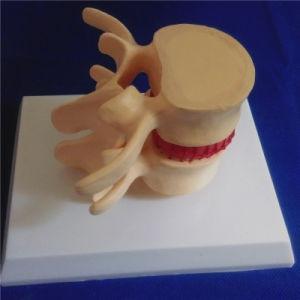 Human Skeleton Vertebra Column Medical Demonstration Biology Model pictures & photos