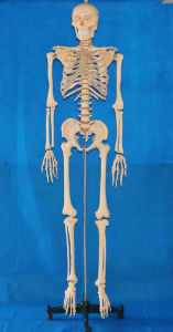 Human Body Transparent Ribs Skeleton Anatomy Model