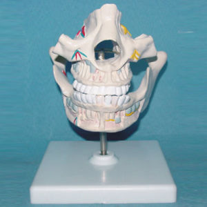 Human Mouth Cavity Series Medical Anatomy Model (R080105) pictures & photos