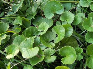 Centella Asiatica pictures & photos