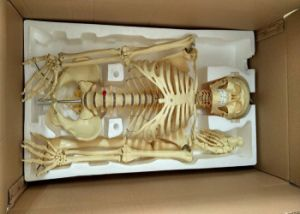 Factory Direct Human Skeleton Medical Teaching Anatomical Model pictures & photos