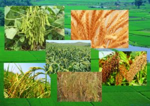 China Made Combine Harvester for Sorghum/Broomcorn pictures & photos