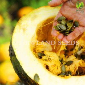 Chinese Health Food Snow White Pumpkin Seeds 11-14cm pictures & photos