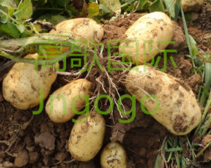 New Crop Professional Exporting Potato pictures & photos