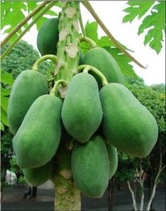 Papaya Extract Natural Enzyme Papain for Food Additive pictures & photos