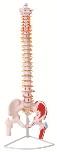 Flexible Vertebral Column with Femur Heads and Muscle Insertions pictures & photos
