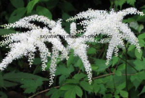 Natural 2.5% Triterpenoid Saponin Black Cohosh Extract pictures & photos