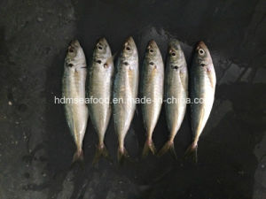 New Land Fish Frozen Round Scad pictures & photos