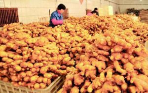 2015 New Crop Chinese Fresh Ginger Vegetables pictures & photos