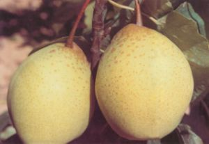 Chinese High Quality Ya Pear pictures & photos