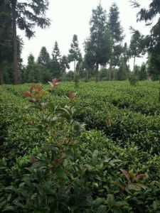 China Tea Guizhou Jade Pearl Chinese Green Tea pictures & photos