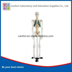 Teaching Model Anatomy Model Human Skeleton Model with Nerve (85cm) pictures & photos