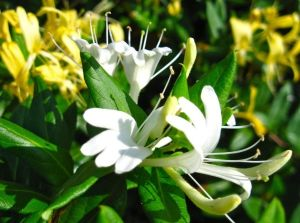 Honeysuckle Flower Extract for Food Supplement and Apis pictures & photos