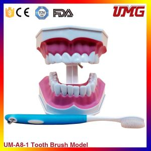Permanent Brush Dental Model, Oral Care Model pictures & photos