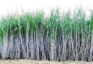 Manufacture Top Quality Sugar Cane Extract Policosanol /Sugar Cane Wax Extract Octacosanol Policosanol / Saccharum. pictures & photos