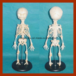 High Quality Anatomy Baby Skeleton Model pictures & photos